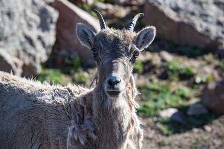 Colorado Rocky Mountain Bighorn Sheep in the Wild.
