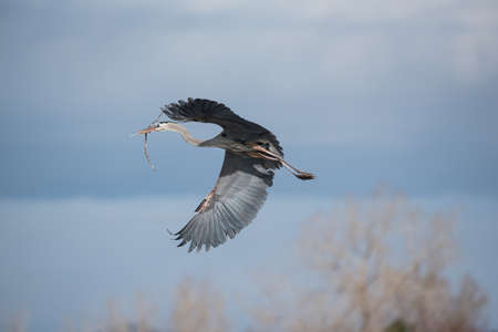 The Great Blue Heron Flying Above a Calm Lake in Colorado.