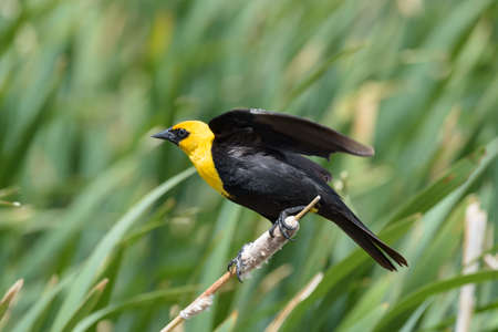 Yellow headed blackbird with a blurred background of a lake.