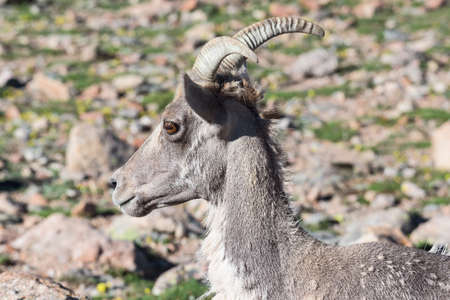 Colorado Rocky Mountain Bighorn Sheep in the Wild. 免版税图像