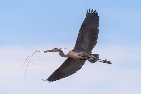 Male Great Blue Heron Returns to the Nest With a Stick for His Mate