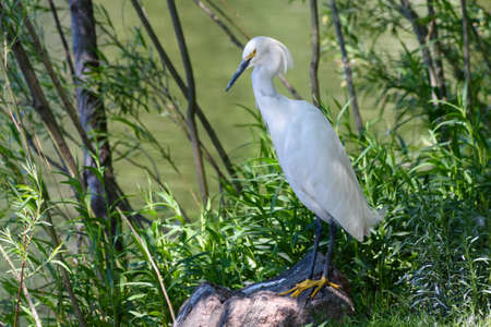 A Snowy Egret Rests on a Rock in the Shade Next to a Pond. Stockfoto