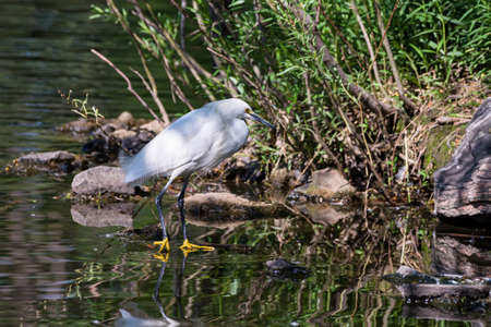 Snowy Egret Wading in Shallow Water With Grass.
