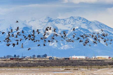 Group of Sandhill Cranes Near Monte Vista, Colorado. Blanca Peak in the Background. Stockfoto