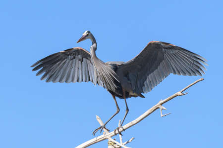 The Great Blue Heron is a large wading bird most commonly found near bodies of water. They can be found year-round in most of the continental United States. 免版税图像