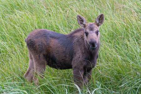 Moose Calf Profile, Standing in Tall Grass. Colorado Moose Living in the Wild