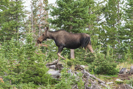 Colorado Moose Living in the Wild. Moose cow standing on a ridge in the mountains of Colorado.
