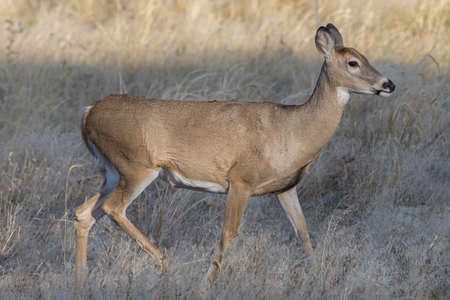 Wildlife of Colorado. Wild Deer in Their Natural Environment in Colorado. White-tailed Doe.