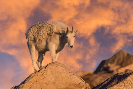 Wild Mountain Goats Living on Colorado Mountain Peaks.