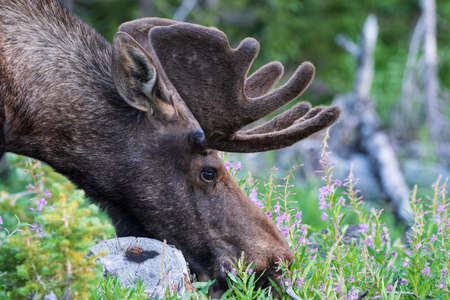 Bull Moose eating wildflowers. Colorado Rocky Mountains - Shiras Moose in the Wild