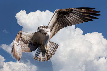 Colorado birds of prey. Osprey in flight with a puffy cloud backdrop. Stok Fotoğraf