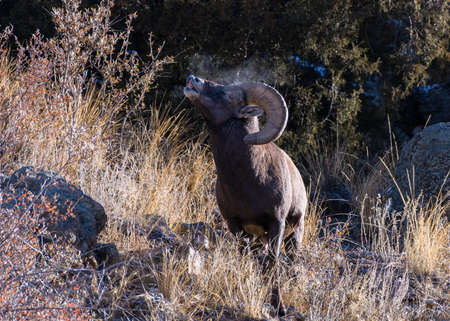 Wild Bighorn Sheep in the Rocky Mountains of Colorado.