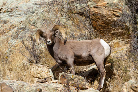 Wild Bighorn Sheep in the Rocky Mountains of Colorado. Mammals of Colorado