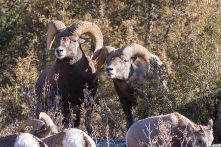 Two Bighorn Rams. Wild Bighorn Sheep in the Rocky Mountains of Colorado. Stok Fotoğraf