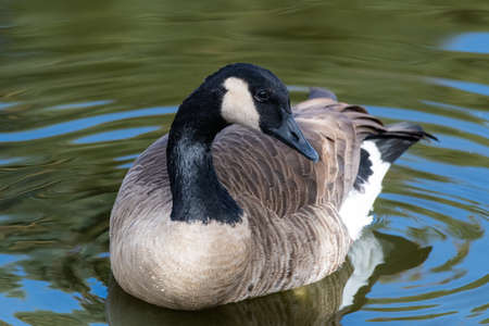 Migratory birds of Colorado. Cackling Goose in a clear water lake.