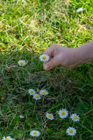 A child's hand picking daisies in the grass during spring