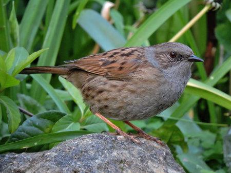 A dunnock bird cl Stock fotó