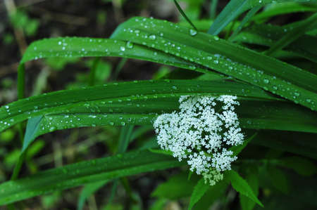 Leaves of the plant lily, caraway white flowers  genus of perennial or biennial plants Umbelliferae  Apiaceae  photo