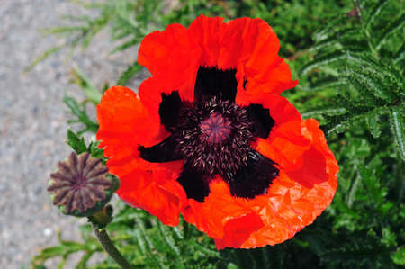 The red poppy flower  photo