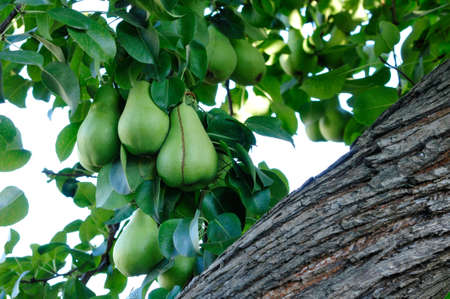 ripen: Pears ripen on the tree  Branch with pears