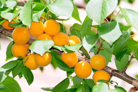 apricot kernel: Apricots ripen on the tree