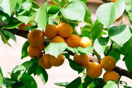 Apricots ripen on the tree  photo