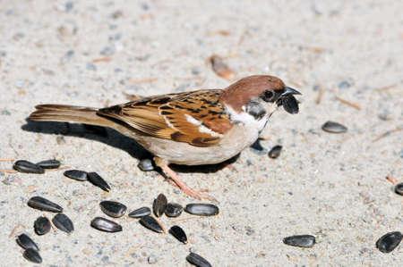 zonnebloem kiemen: Sparrow pikt zonnebloempitten