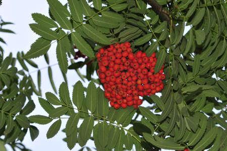 mountain ash: Mountain ash  Rowan-tree  The fruits of mountain ash  Rowan berries ripen on the tree