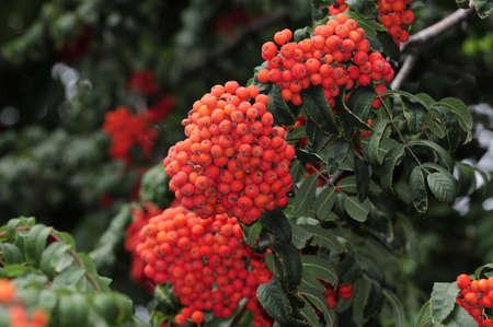 sorbus: Mountain ash  Rowan-tree  The fruits of mountain ash  Rowan berries ripen on the tree