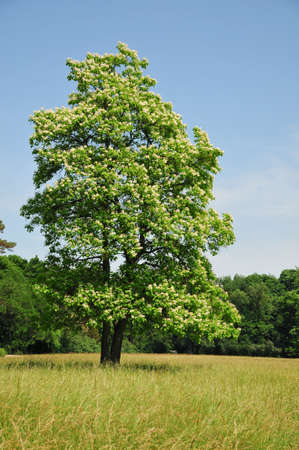 catalpa: Summer landscape in the arboretum  Catalpa tree Catalpa, commonly called catalpa or catawba, is a genus of flowering plants in the family Bignoniaceae  Stock Photo