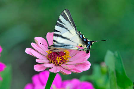 scarce: Scarce swallowtail butterfly collects nectar on flower zinnia