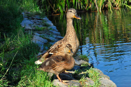 anseriformes: Mallard  Latin Anas platyrhynchos  - bird of the duck family  Anatidae  detachment of waterfowl  Anseriformes   The most well-known and widespread wild duck