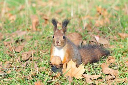 Squirrel gnaws walnut. Squirrel - a rodent of the squirrel family. The only representative of the kind of protein in the fauna of Russia. photo