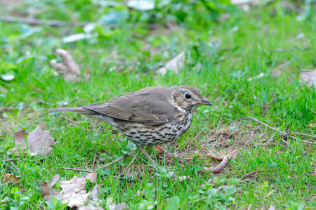 buff: The song thrush (Turdus philomelos) is a thrush that breeds across much of Eurasia. It has brown upperparts and black-spotted cream or buff underparts and has three recognised subspecies.