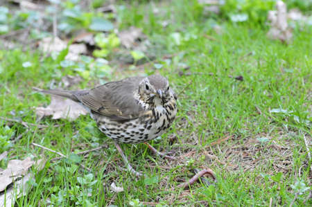 recognised: The song thrush (Turdus philomelos) is a thrush that breeds across much of Eurasia. It has brown upperparts and black-spotted cream or buff underparts and has three recognised subspecies.