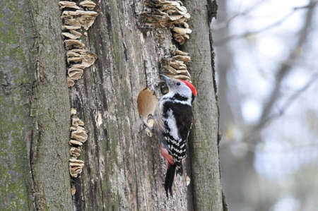 woodpecker: White-backed woodpecker,male. Stock Photo