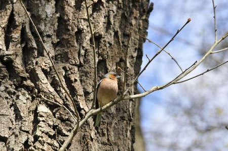 songbird: Chaffinch. Songbird finch male.