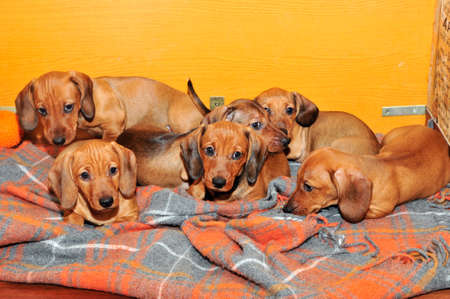 two and a half: Dachshund puppies in the home aviary for puppies. Age puppies two and a half months. The breed standard smoothhaired dachshund dog color red.