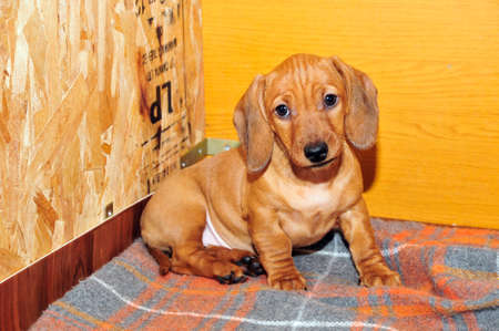 half breed: Dachshund puppy girl age two and a half months. Dachshund is in the home aviary for puppies. The breed standard smoothhaired dachshund dog color red. Stock Photo