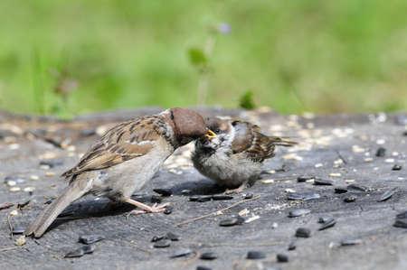 procreation: Eurasian tree sparrow. Sparrow pecks sunflower seeds. The adult bird and chick. Adult bird feeding nestlings.