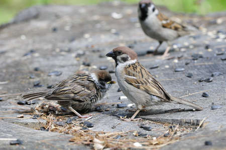 eurasian: Eurasian tree sparrow. Stock Photo