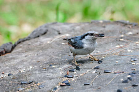 eurasian: Eurasian nuthatch. Stock Photo