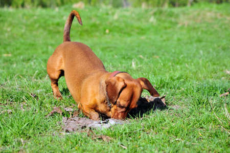 The dog digs a hole. Smoothhaired dachshund standard color red female. Stockfoto