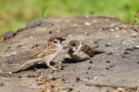 procreation: Eurasian tree sparrow.  Stock Photo