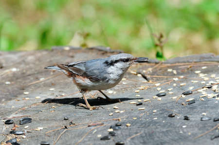 passerine: The Eurasian nuthatch or wood nuthatch is a small passerine bird found throughout temperate Asia