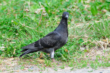 large bird: The large bird genus Columba comprises a group of medium to large stoutbodied pigeons often referred to as the typical pigeons. Stock Photo