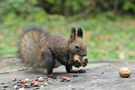 squirrel: Dark brown squirrel. Squirrel gnaws walnut. Squirrel - a rodent of the squirrel family.