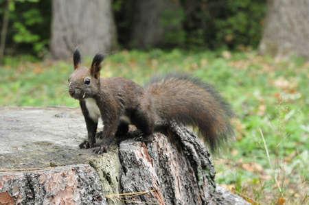 black squirrel: Dark brown squirrel. Squirrel gnaws walnut. Squirrel - a rodent of the squirrel family.