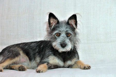 mongrel: Mongrel dog, mongrel dog similar to the breed Cairn Terrier or a Australian terrier. Stock Photo