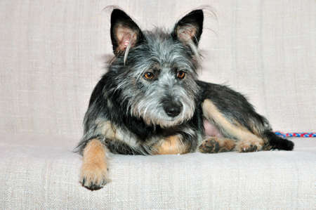 cairn: Mongrel dog, mongrel dog similar to the breed Cairn Terrier or a Australian terrier. Stock Photo